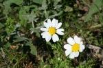 Μαργαρίτα (Anthemis chia)  ΑΡΧΑΙΑ ΘΟΥΡΙΑ  Μπουφόραχη 16 Μάρτη 2012
