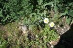 Μαργαρίτα (Anthemis chia) ΑΡΧΑΙΑ ΘΟΥΡΙΑ  16 Μάρτη 2012