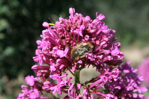 Centranthus ruber 15 Μάρτη 2010 Μπουφόραχη  ΑΡΧΑΙΑ ΘΟΥΡΙΑ