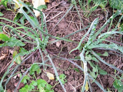 Τραγοπώγων ο πρασόφυλλος -Tragopogon porrifolius-Plants