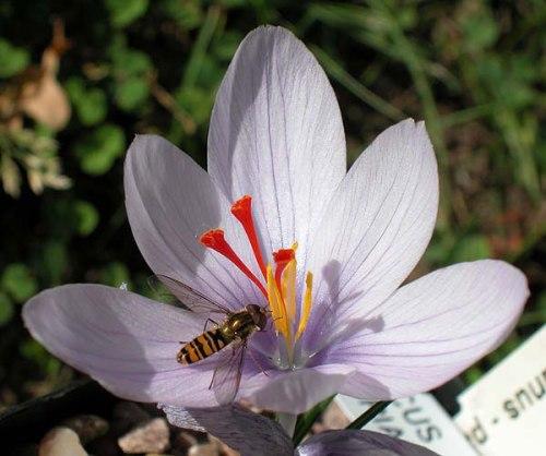 Crocus hadriaticus lilac