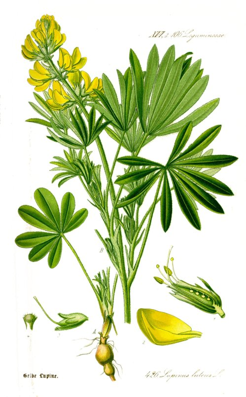 Illustration_Lupinus_luteus1