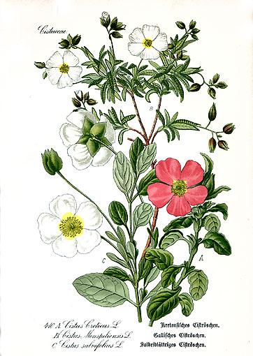 t.cistius.creticus