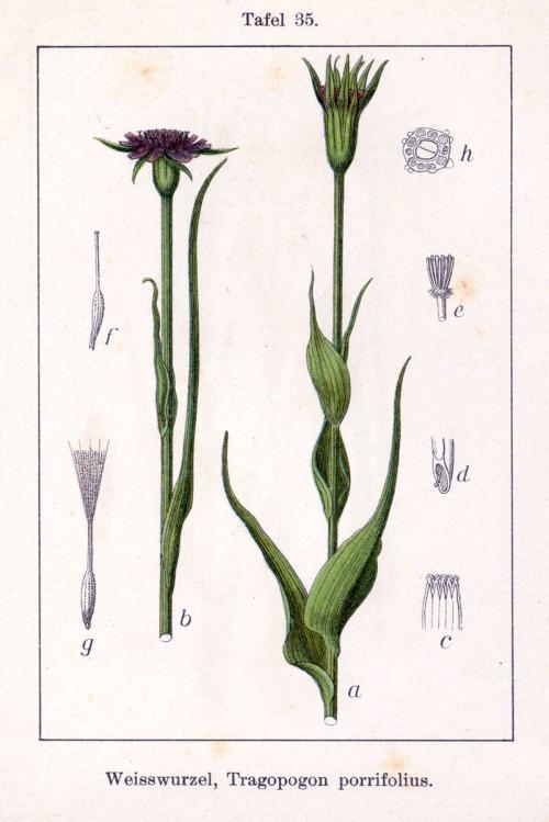 Tragopogon_porrifolius_Sturm35