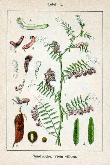 Vicia villosa