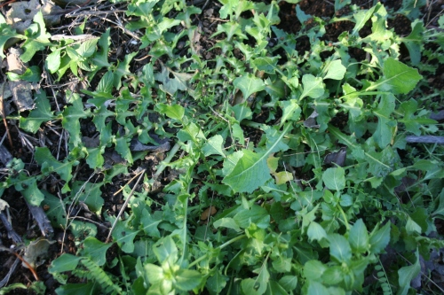Crepis bursifolia  Italian Hawksbeard