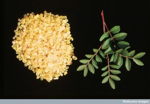 N0024602 Pistacia lentiscus. Mastic tree.