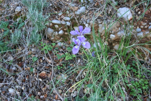 Iris unguicularis  περιοχή Μυκηναϊκής Άνθειας 13 Γενάρη 2014