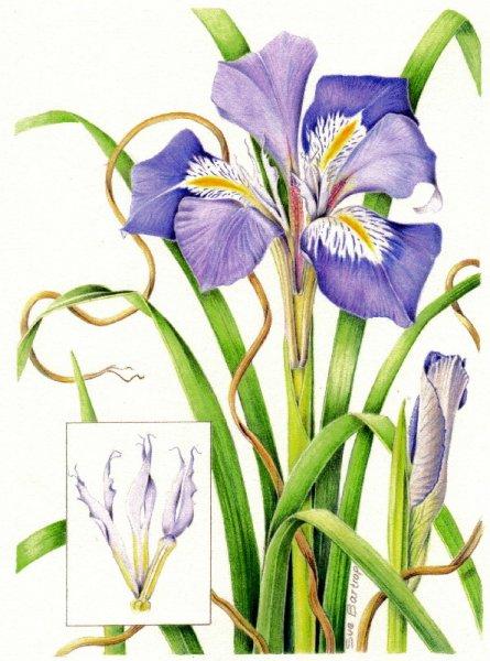iris-unguicularis-autoadjust-jpeg1