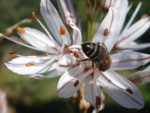 Asphodelus aestivus