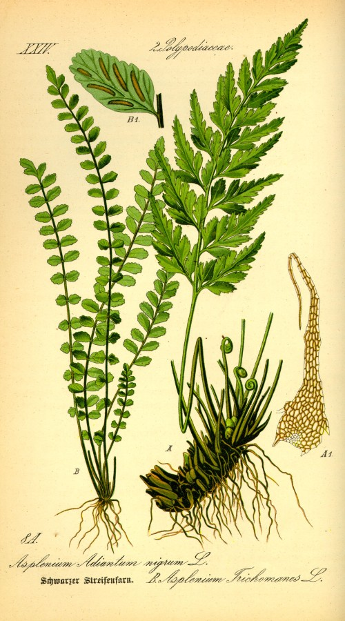 Illustration_Asplenium_trichomanes0