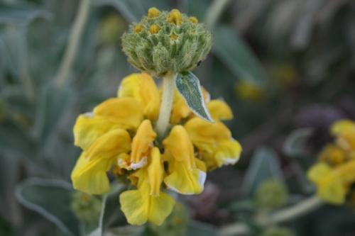 Phlomis fruticosa Ασφάκα Αρχαία Θουρία Πεπελάδες 18 Απρίλη 2013