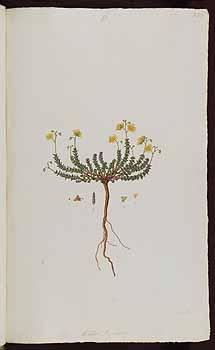 Cistus thymifolius Crete