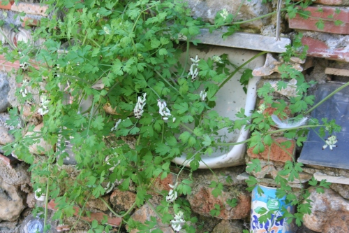 Fumaria capreolata αρχαία θουρία (παραλία Αριοχωρίου) 28 Μάρτη 2013