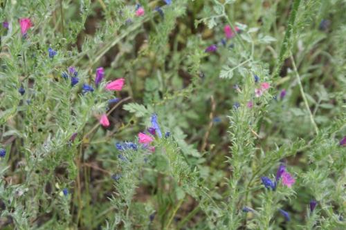 Echium plantagineum αρχαια θουρία Γκομούς  23 Μάη 2013