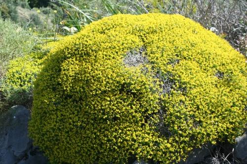 Euphorbia acanthothamnos Αρχαία Θουρία Μπουφόραχη 18 Απρίλη 2013