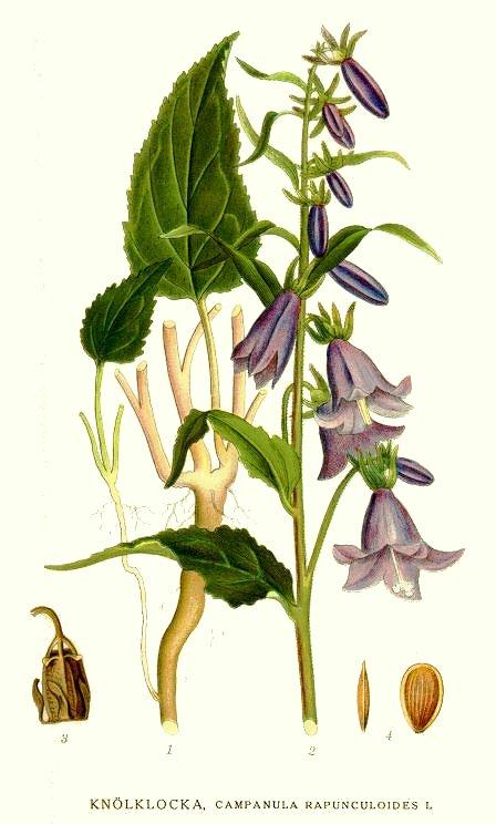 Campanula ramosissima4