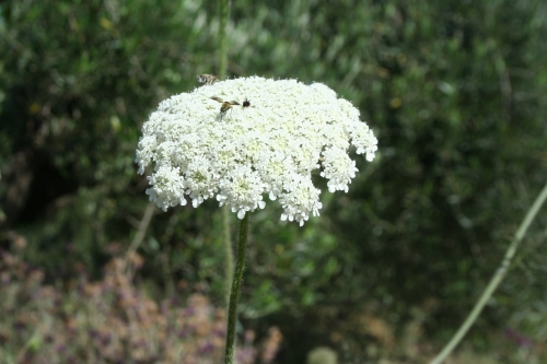 daucus carota αγριοκαρότο αρχαια θουρια αριοχωρι 10 Ιούνη 2013