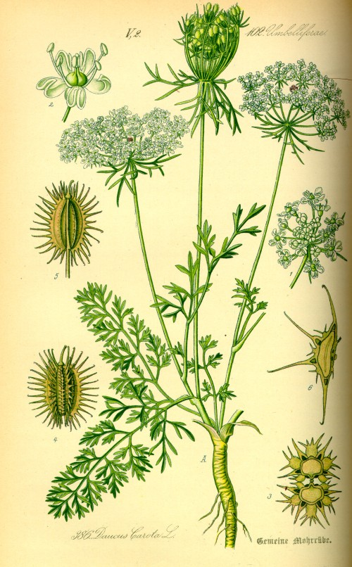 Illustration_Daucus_carota0