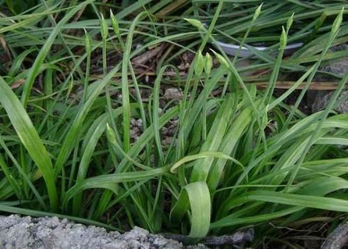 Allium subhirsutum, Αρχαια Θουρία,  Αίπεια, 18 Απρίλη 2013