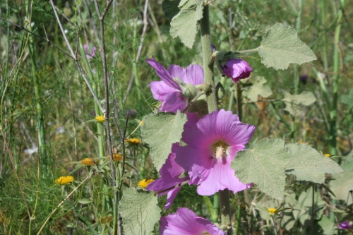 althaea rosea Aλθαία Αρχαία Θουρία Ανεμόμυλος 10 Ιούνη 2013