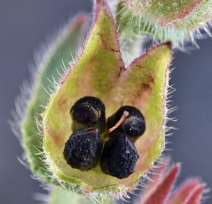 Anchusa officinalis  σπόροι