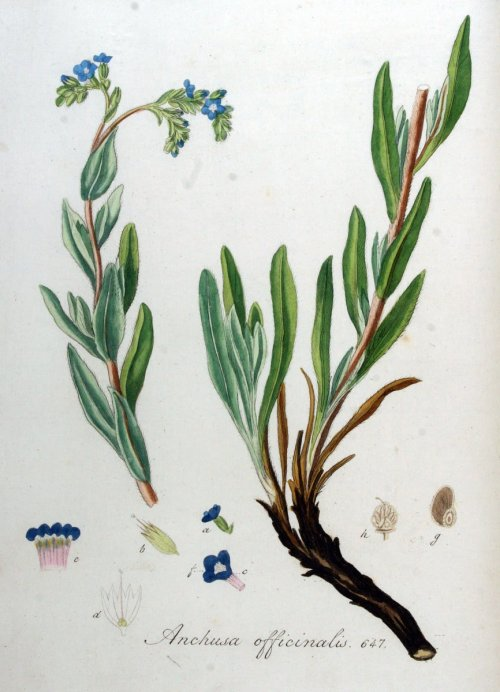 Anchusaofficinalis