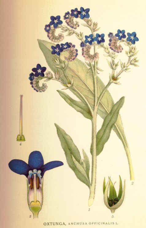 Anchusa+officinalis