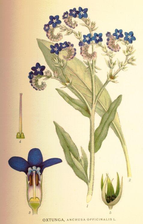 Anchusa+officinalis