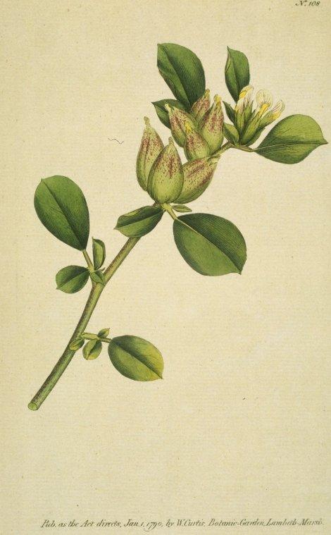 Anthyllis tetraphylla11