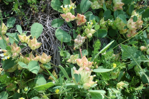 Anthyllis tetraphylla αρχαια θουρια Αιθαία 24 Απρίλη 2013