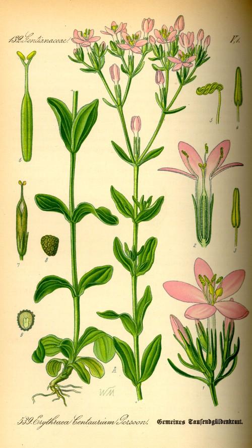 Centaurium erythraea2