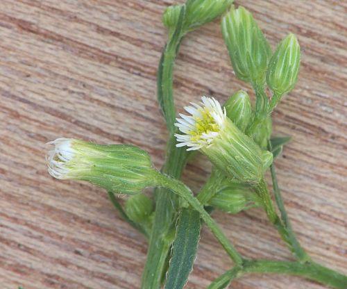 Conyza canadensis Αρχαία άνθεια- Θουρία  Αριοχώρι Ουγγρέϊκα 13Αυγούστου 2013