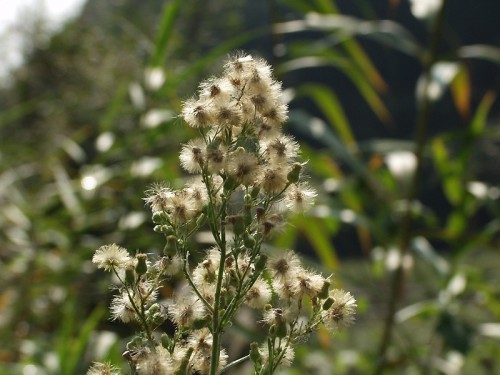 Conyza canadensis Αρχαία άνθεια- Θουρία  Αρφαρα 20 Αυγούστου 2013