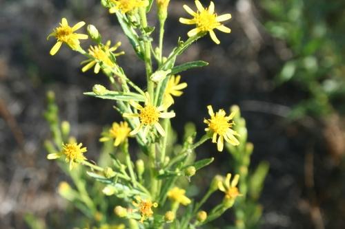 Dittrichia viscosa αρχαια Άνθεια - Θουρία  Μικρομάνη 29 Σεπτεμβρη 2013