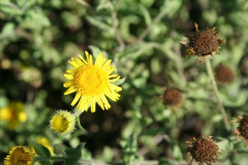 Pulicaria dysenterica αρχαια Ανθεια - Θουρια Αρφαρά  29 Σεπτέμβρη 20013
