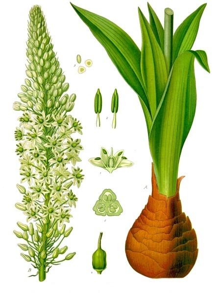 Drimia_maritima_-_Köhler–s_Medizinal-Pflanzen-277