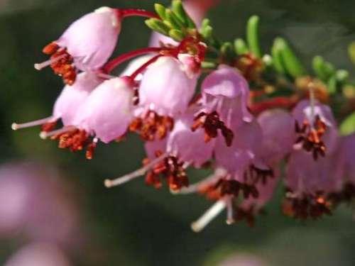 Erica manipuliflora Ρείκι Μπουφόραχη, Αρχαία Θουρία 2 Γενάρη 2014