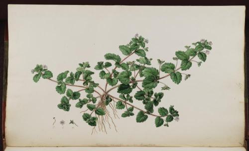 f.67: Veronica agrestis varietal byzantiaca