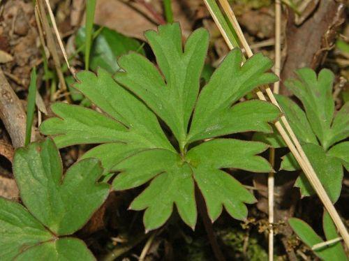 800px-Ranuncolaceae_-_Anemone_hortensis-6