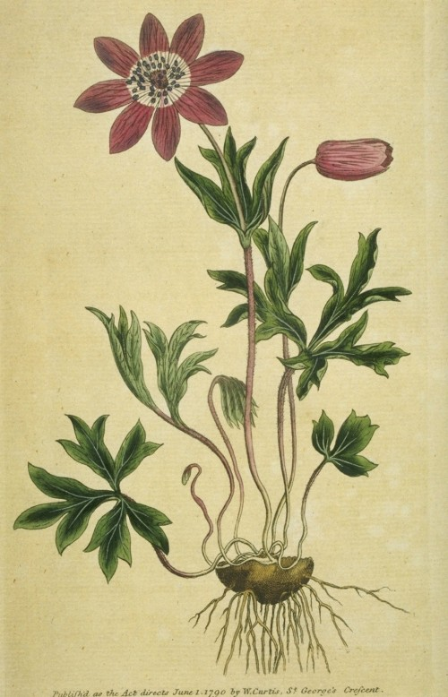 anemonehortensis