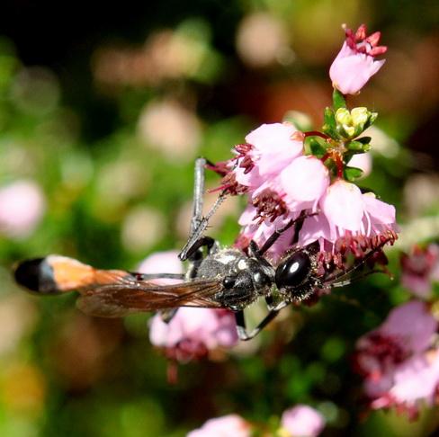 Erica manipuliflora Ρείκι Λάσπη στ αστέρια