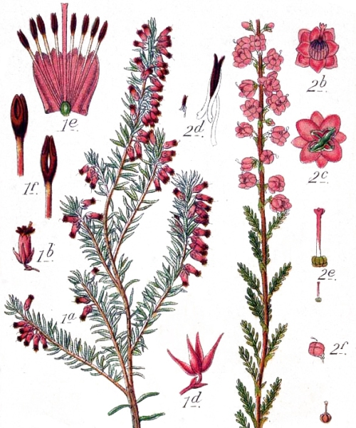 Erica-manipuliflora
