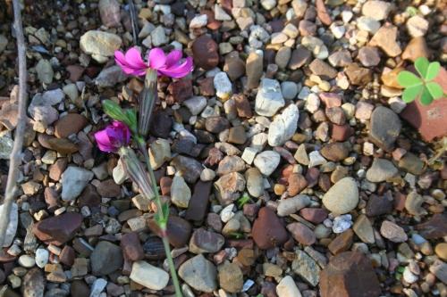 Silene colorata, Σιληνή η έγχρωμη , Αρχαία Θουρί