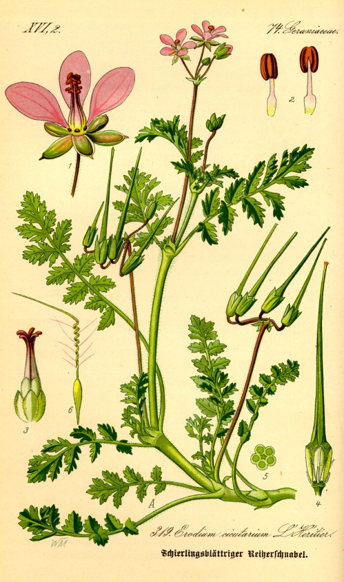 Illustration_Erodium_cicutarium0