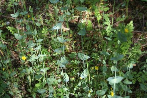 Blackstonia perfoliata Αρχαία Θουρία  Σουρεύλι  25 Μάη 2014
