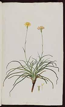f.139: Scorzonera crocifolia nov. sp.