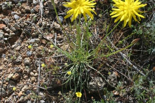 Scorzonera crocifolia Αρχαία Θουρία,  'Ανθεια 25 Μάη 2014