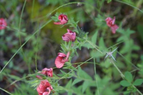 Linum pubescens Αρχαία Θουρία, Άρις 29 Απρίλη 2014