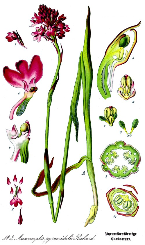 Illustration_Anacamptis_pyramidalis_clean